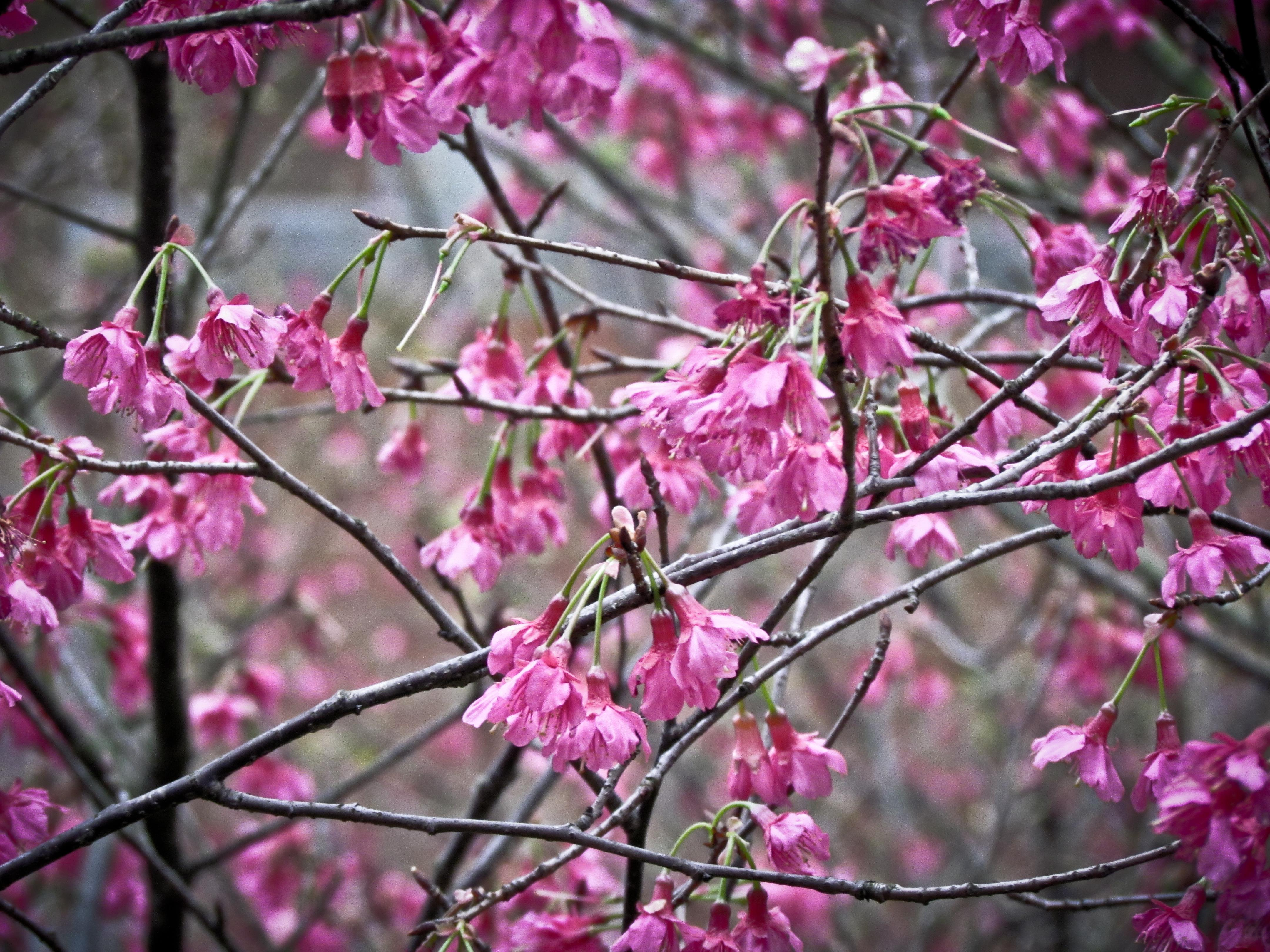 Cherry Blossoms (Royalty Free) - Artist- Cloud -